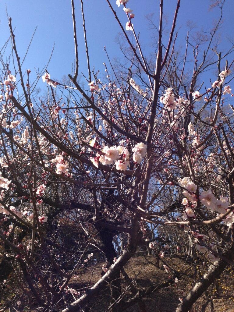 末広通り 桜