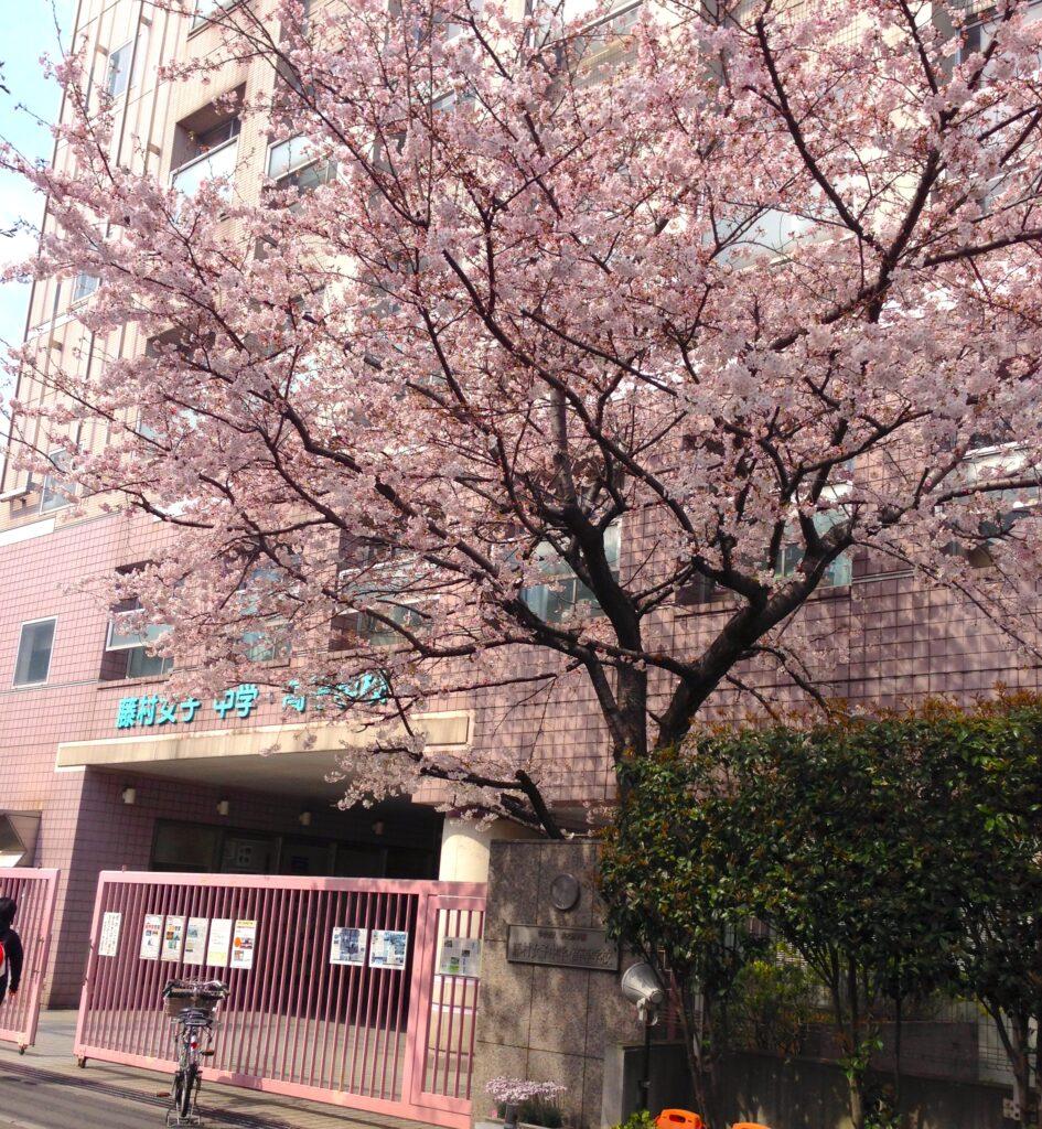 藤村女子中学校 桜