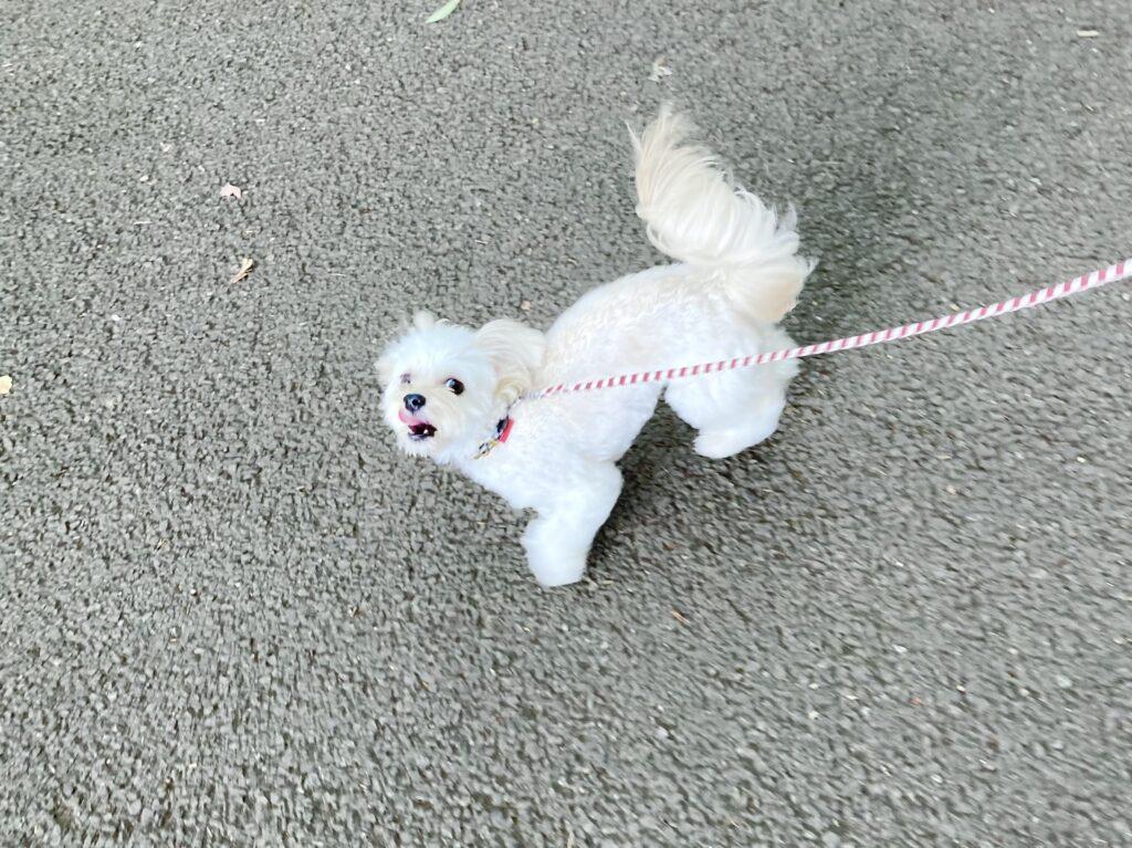 小金井公園で散歩する犬