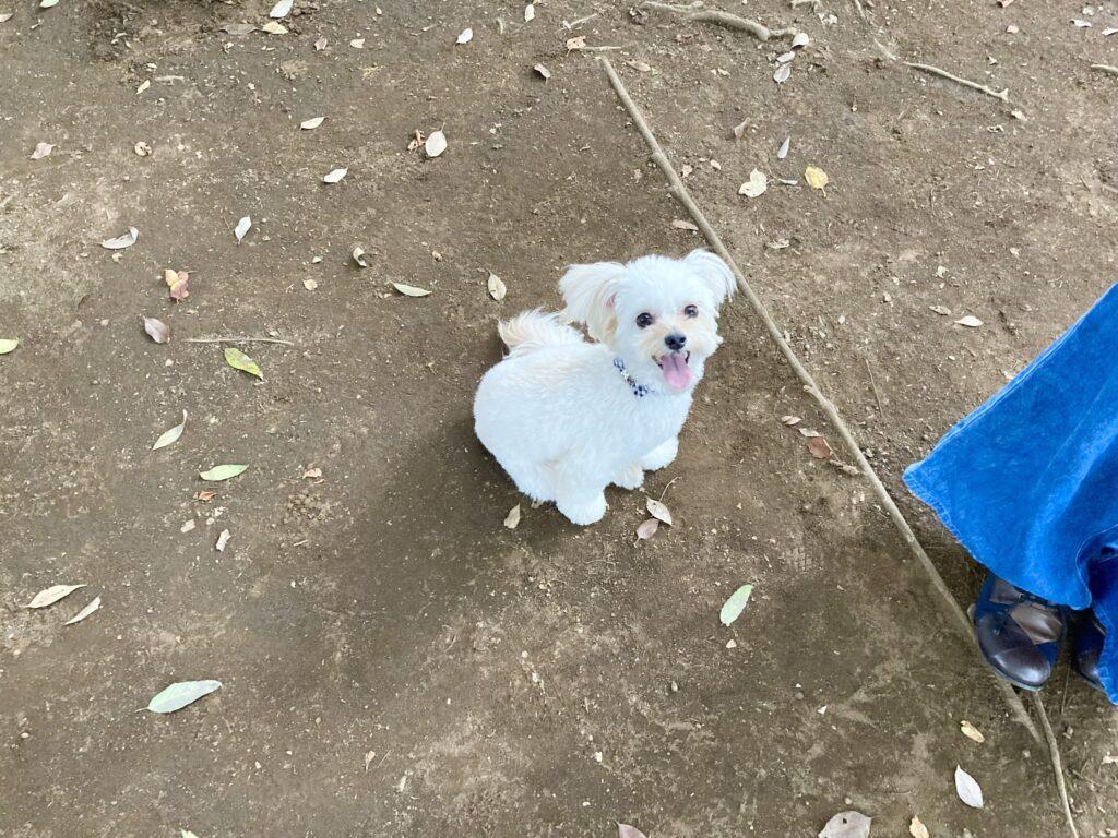 小金井公園ドッグランの小型犬エリアで遊ぶ犬