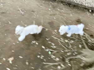 小金井公園ドッグランの小型犬エリアで遊ぶ犬②